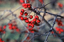 Hawthorn berries by Stephen Foster.jpeg